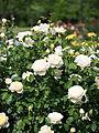 Rose, Charlotte, バラ,シャーロット, (9510652552).jpg