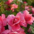 Rose, Magali, バラ, マガリ, (15136396794).jpg