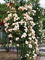 Rose, Phyllis Bide, バラ, フィリス バイド, (15668388858).jpg