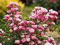 Rose, Tamaju, バラ, タマジュウ, (12532197653).jpg