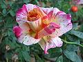 Rose (142).jpg