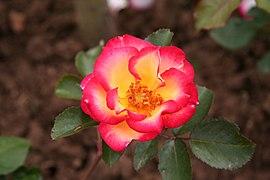 Rose Betty Boop 20070601.jpg