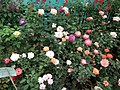 Rose from Lalbagh flower show Aug 2013 8514.JPG