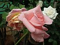 Rose from Lalbagh flower show Aug 2013 8573.JPG
