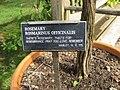 Rosmarinus officinalis - Gardenology.org-IMG 0655 bbg09.jpg
