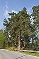Rotföhre in Engelstein 2014 05 Naturdenkmal GD-118.jpg