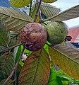 Rotten guava in Bangladesh.jpg