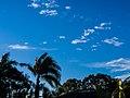 Roystonea regia windblown Copperfield St Geebung P1050105.jpg