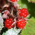 Rubus buergeri (fruits s5).jpg