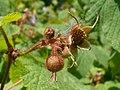 Rubus odoratus 2017-05-23 0538.jpg