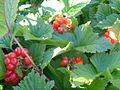 Rubus saxatilis fruits 1.jpg