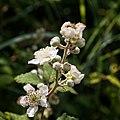 Rubus vestitus-Ronce revêtue-201606171.jpg