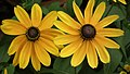 Rudbeckia from Lalbagh flower show Aug 2013 8286.JPG