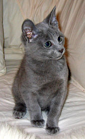 of the Russian Blue.