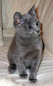 gatito ruso azul