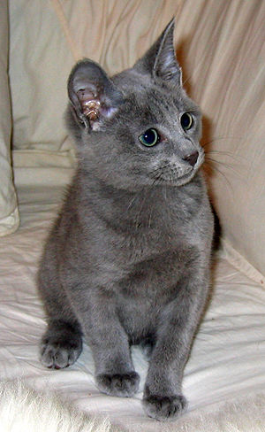 4 months old Russian Blue male