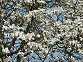 Saint-Cyr-l'École arbre en fleurs P1060839.JPG