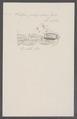 Salpa polycratica - - Print - Iconographia Zoologica - Special Collections University of Amsterdam - UBAINV0274 092 08 0015.tif