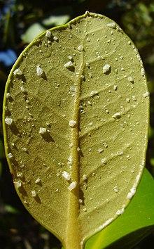 220px-Saltcrystals_on_avicennia_marina_var_resinifera_leaves.JPG