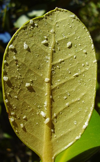 Desalination - Mangrove leaf with salt crystals