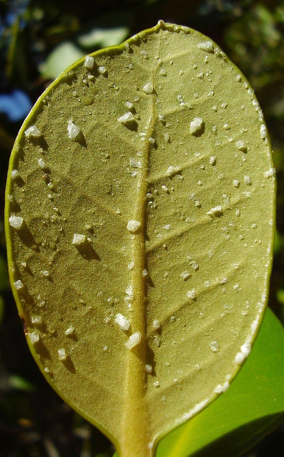 Saltcrystals on avicennia marina var resinifera leaves