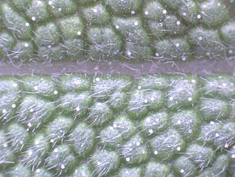 USB microscope - The top side of a sage leaf seen with a USB microscope - trichomes are visible.