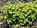 Salvia pulchella 1.jpg