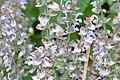 Salvia sclarea 1640.jpg