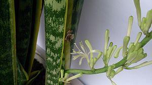 Sansevieria trifasciata - In flower
