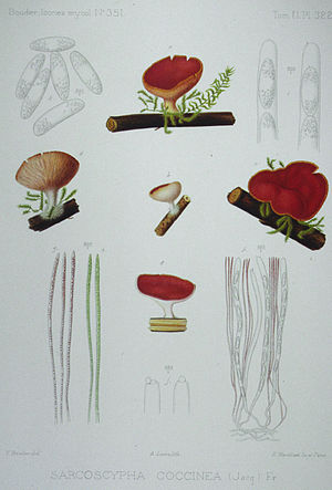 Sarcoscypha coccinea - Drawings by Jean Louis Émile Boudier