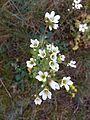 Saxifraga granulata sl17.jpg
