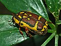 Scarabaeidae - Pachnoda fissipunctum.jpg