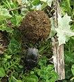 Scarabaeus laticollis.jpg
