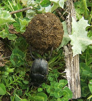 Dung beetle - An earth-boring dung beetle working