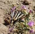Scarce Swallowtail. Iphiclides podalirius (24101598364).jpg