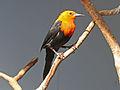 Scarlet-headed Blackbird RWD3.jpg