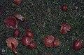 Scarlet waxcap, Hygrophorus coccineus, Tal y Garn, 1991 (30720356320).jpg