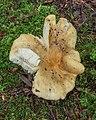 Scherpe kamrussula (Russula amoenolens) (d.j.b.) 05.jpg