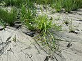 Scirpus radicans sl25.jpg