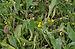 Scorpiurus vermiculatus - Jardin des Plantes.jpg