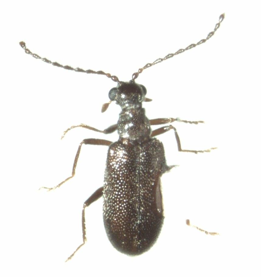 Scraptogetus cf.anthracinus
