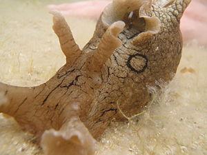 Pain in invertebrates - A sea hare