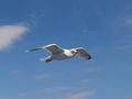 Seagull flying (2).jpg