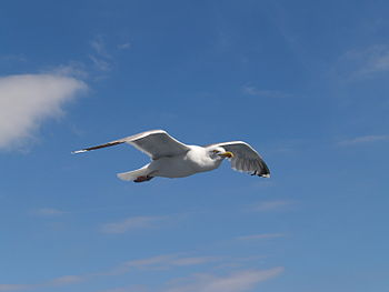 English: Flying Herring Gull with footring on ...
