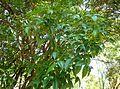 Searsia chirindensis, lower en bloeiwyses, a, Pretoria NBT.jpg