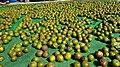 Seeds of Camellia oleifera.jpg