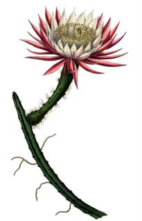 Moonlight cactus genus of plants
