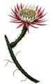 Selenicereus spinulosus Tafel53 Cereus.png