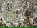 File:Semibalanus balanoides upernavik 200px.ogv