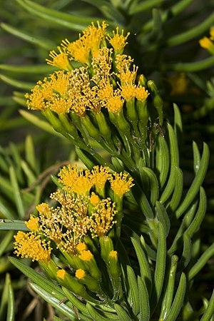 Senecio - S. barbertonicus Succulent Bush Senecio